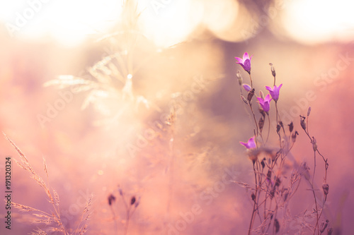 Fototapety, obrazy: Vintage pink flowers in summer field. Nature view