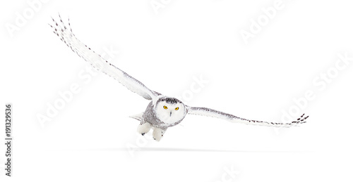 Fotobehang Uil Snowy owl (Bubo scandiacus) isolated on a white background flies low hunting over an open snowy field in Canada