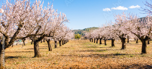 Blooming almond tree garden background Fototapet