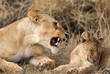Lioness and cub at Serengeti National Park, Tanzania
