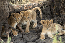 Lion Cubs (Panthera Leo), Sere...