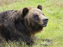 Closeup Of A Grizzly Bear