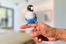 Parrot Lovebird Sitting On Han...