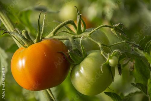 Tomate Verde y Rojo II © Metallicodelsur