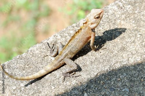 Poster Chamaleon chameleon - Sri Lanka
