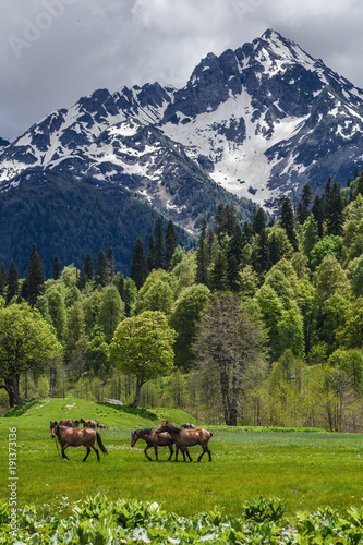 Along the meadows in Abkhazia, a herd of horses is walking Canvas Print