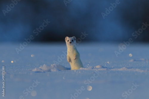 Obraz na plátne stoat (Mustela erminea),short-tailed weasel in the Winter Germany