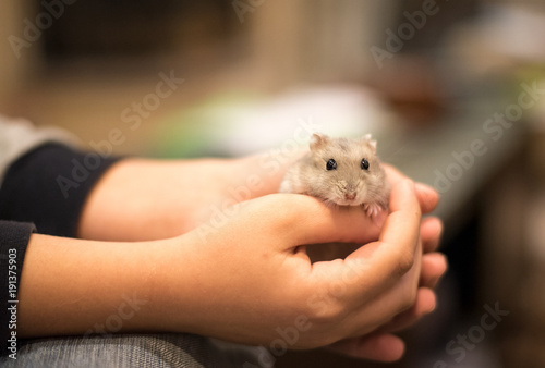 Fotografía Hands holding with tenderness  a cute little grey hamster