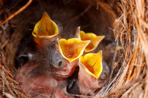 Fotografie, Obraz  Wrens in a Nest