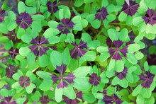 Leaves Of The Oxalis Deppei Pl...