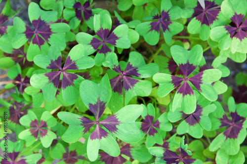 Leaves of the Oxalis Deppei plant, also known as Oxalis Tetraphylla