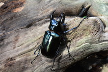A Female Stag Beetle Rests On ...