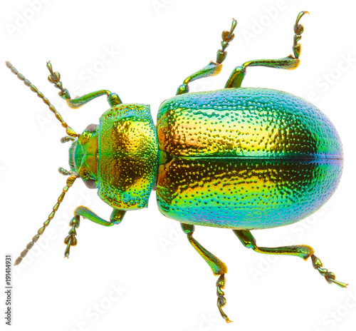 Fotomural Leaf beetle Chrysolina graminis isolated on white background, dorsal view of beetle