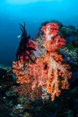 Fototapeta na wymiar Colorful Soft Corals on Deep Reef in the Philippines
