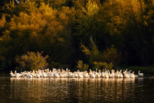 White Pelicans At Sunset In Mi...