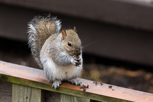 Grey Squirrel Eating On Fence