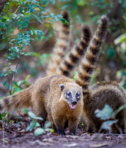 Fotografie, Obraz  South American coati (Nasua nasua), also known as the ring-tailed coati