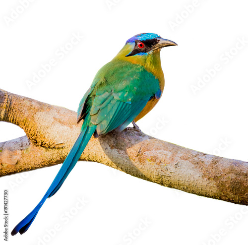 Photo blue crowned motmot with white isolated background.