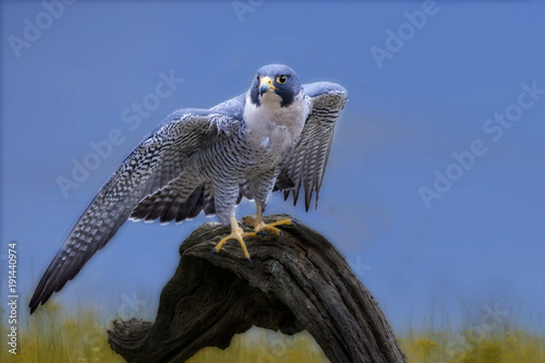 Fotografering  Peredine falcon on log