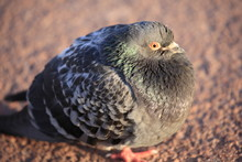 A Fat Pigeon On The Ground