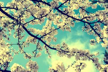 Panel Szklany Podświetlane Florystyczny Sakura flower cherry blossom