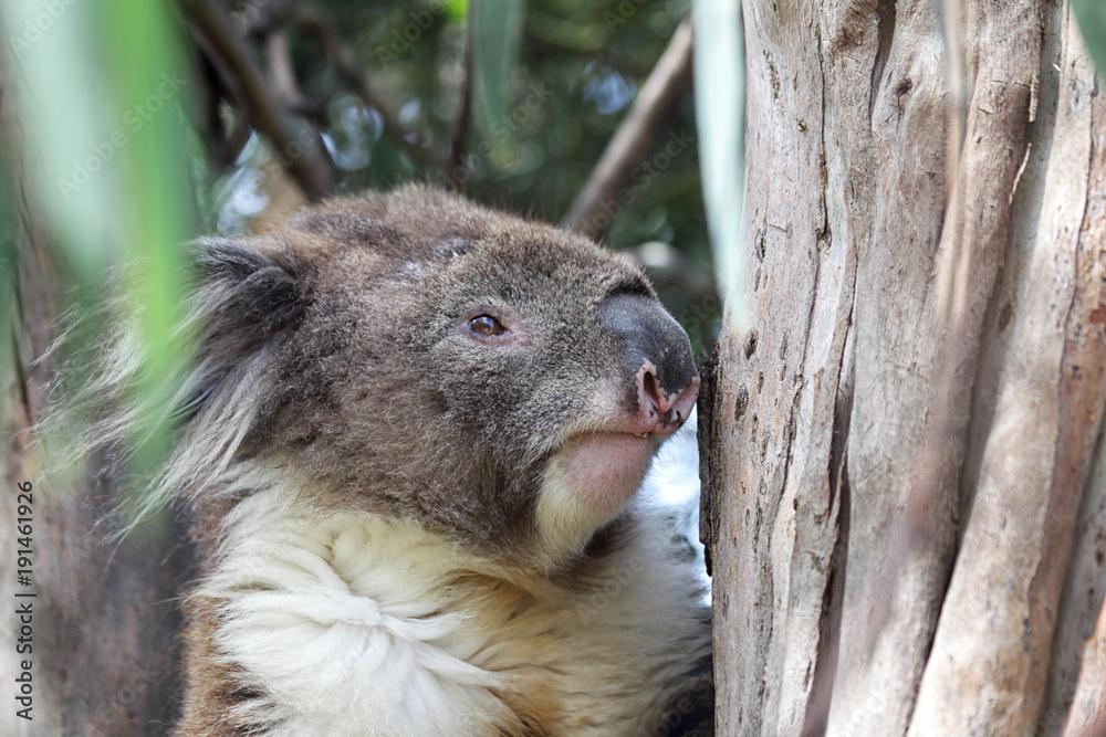 Koala (Phascolarctos cinereus) sitzt in einem Eukalyptus Baum bei Kennett River an der Great Ocean Road in Victoria, Australien.