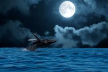 Humpback Whale Breaching At Ni...