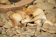 Sleeping Dingo