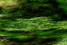 Algae In A Mountain Stream