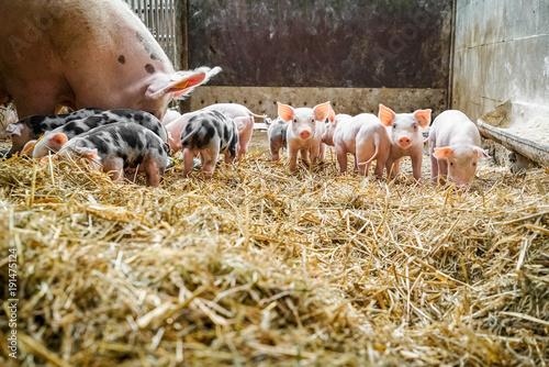 Schweinehaltung - Sau mit jungen Ferkeln im Strohstall