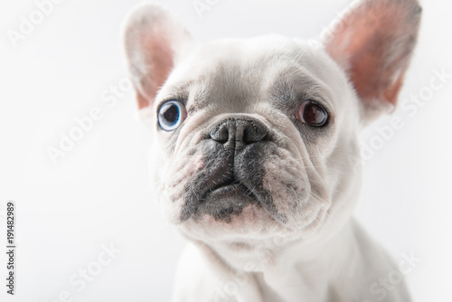 Deurstickers Franse bulldog close-up view of adorable french bulldog looking at camera isolated on white