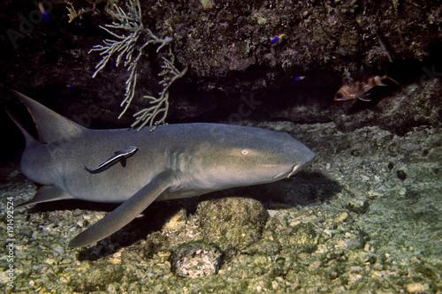 Photo karibischer Ammenhai, Cuba