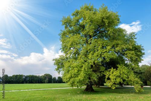 Large Oak Tree Tree on a Green Meadow