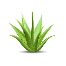 Aloe Vera With Fresh Drops Of ...
