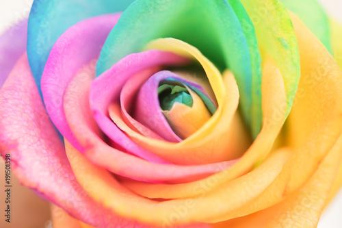 Fototapeta Rainbow beauty rose obraz na płótnie