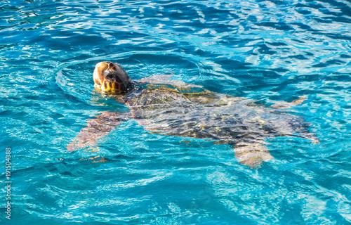 Poster Tortue Big sea turtle Caretta spoted near Zakynthos island
