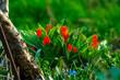 canvas print picture - Rot Frueh Jahr Blume Tulpe im Garten Lenz