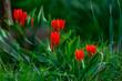 canvas print picture - Frueh Jahr Blume Tulpe im Garten Lenz Rot