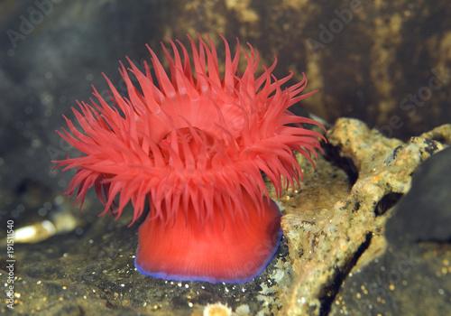 Photo Beadlet Anemone - Actinia equina, Mediterraean sea, Croatia