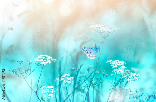 Foto op Canvas Bloemen Gentle natural background in pastel colors with a soft focus of blue and beige shades. Flowering plant white umbellate inflorescences of wild meadow grass and butterfly in spring in nature macro.