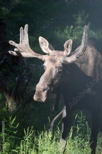 Spoed Fotobehang Hipster Dieren Gorgeous Brown Moose Standing in Tall Forest Vegetation