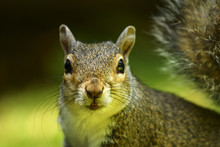 Close Up Of A Gray Squirrel In...