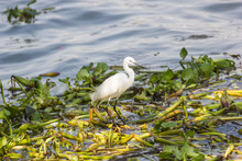 Eastern Great Egret Walking In Water And Look For Fish To Eat.