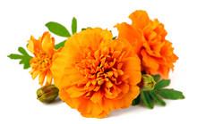 Closeup Of Fresh Marigold Flower Isolated On White