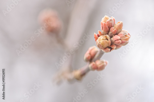 Leinwand Poster Blossoming buds on tree on natural background in spring day