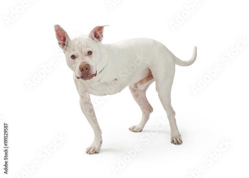 Photo Large Dog With Amputated Leg