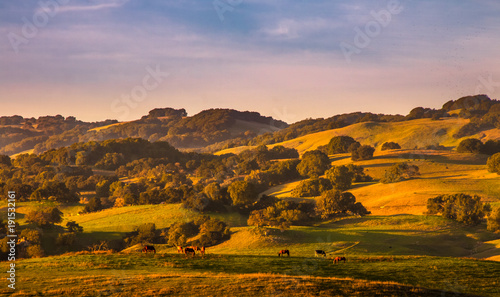Pasture lands and California oak trees stand out on hills sides with golden light and shadows from a sunset. Horses graze in the foreground. A blue sky with wispy pinkish clouds are in the background.