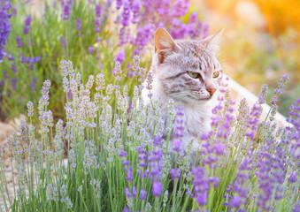 Fototapeta Lawenda Wild cat is sitting in lavender field. Sunset lights over blooming lavander flowers.