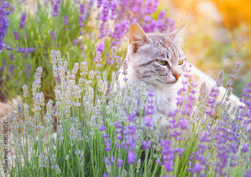 Wild cat is sitting in lavender field Poster