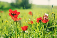 Spring Blossom Of The Red Flowers (anemones) On A Green Meadow
